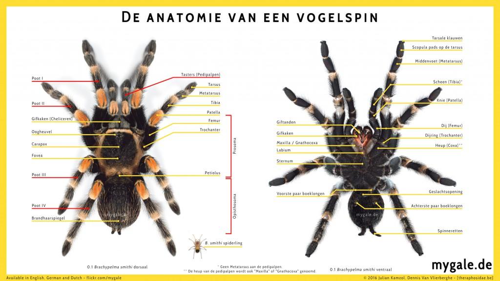 Theraphosid spider anatomy
