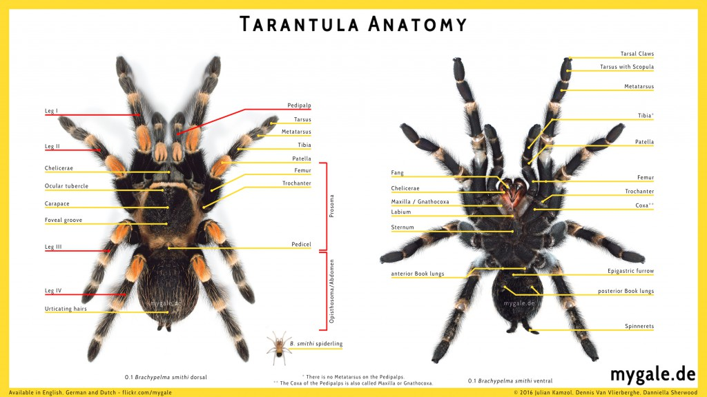 Theraphosid spider anatomy