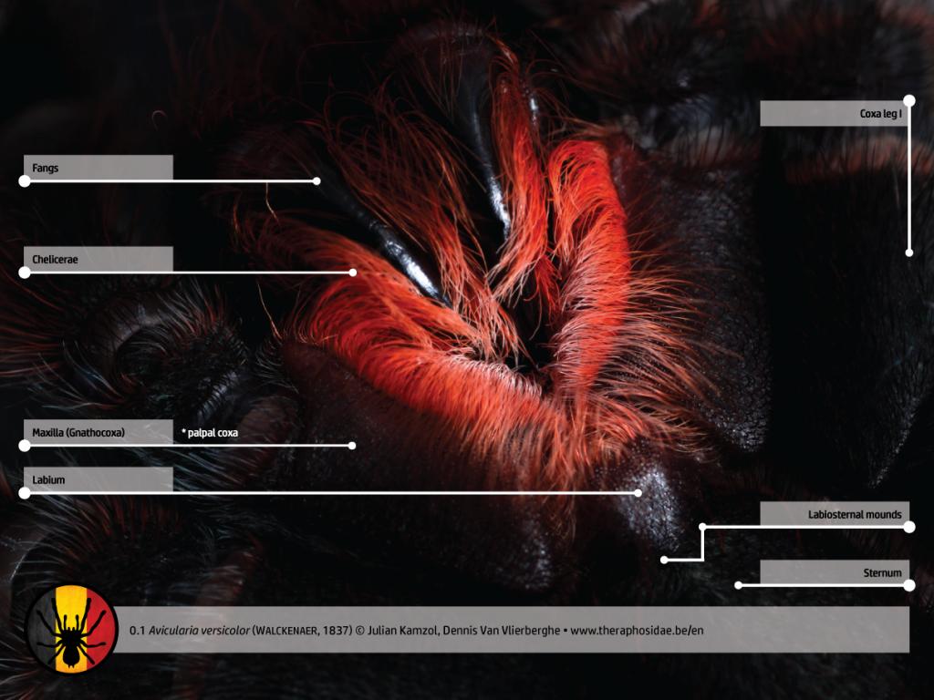 Avicularia versicolor tarantula anatomy mouthparts