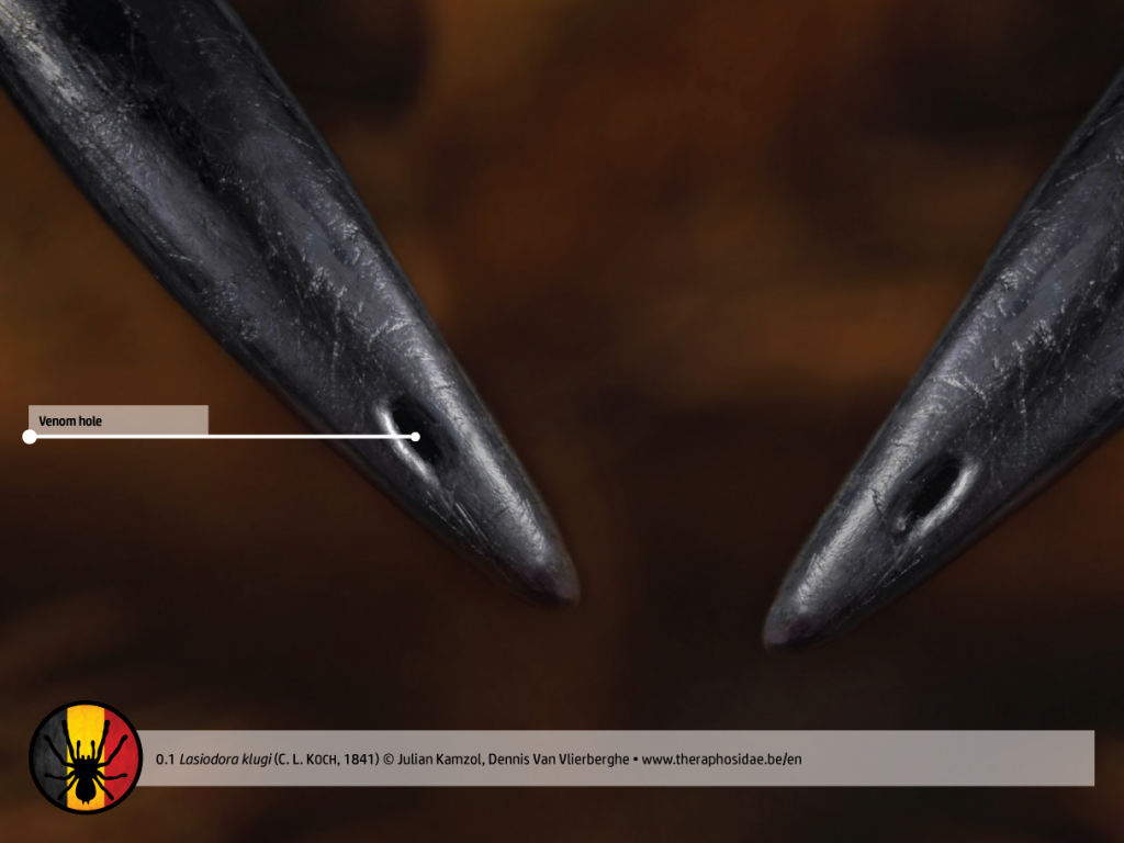 Lasiodora klugi tarantula anatomy venom holes