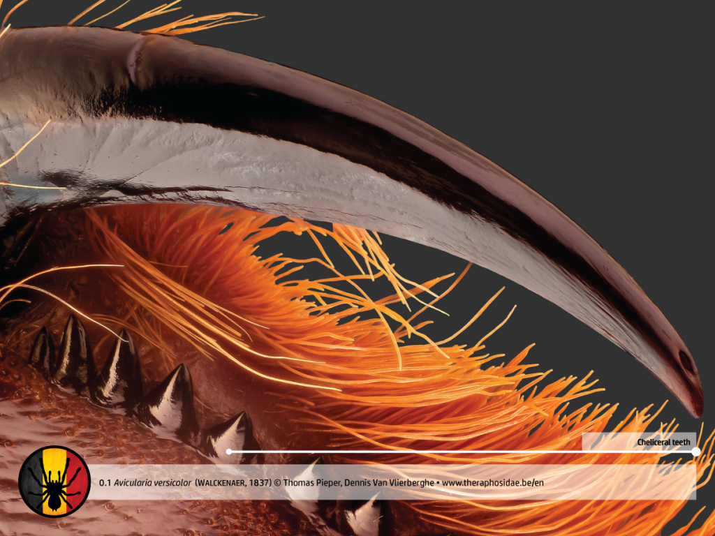 Tarantula anatomy Avicularia versicolor cheliceral teeth