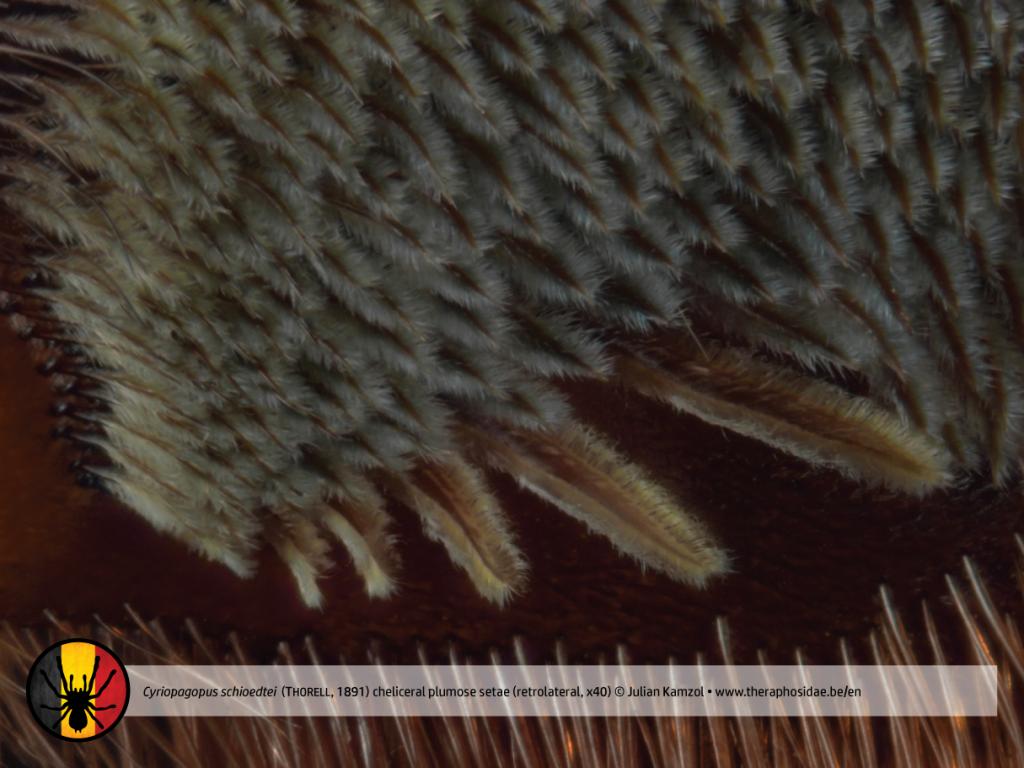 Tarantula anatomy Cyriopagopus schioedtei cheliceral plumose setae retrolateral x40
