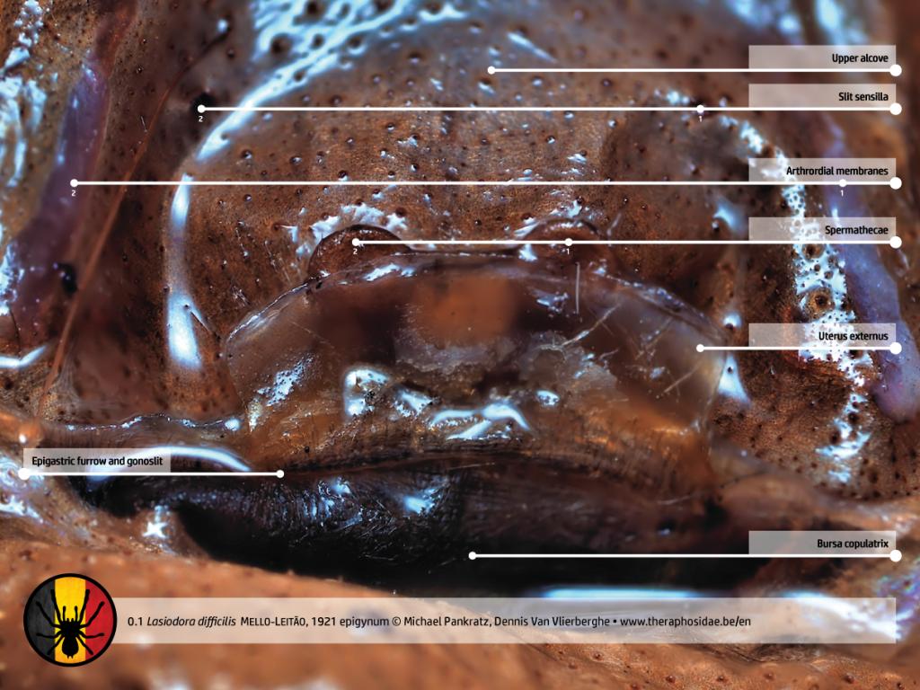 Tarantula anatomy Lasiodora difficilis female egigynum