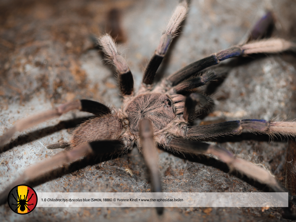 Chilobrachys dyscolus blue MM