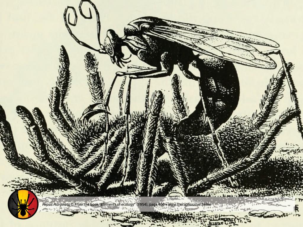 Tarantula Pepsis Wasp