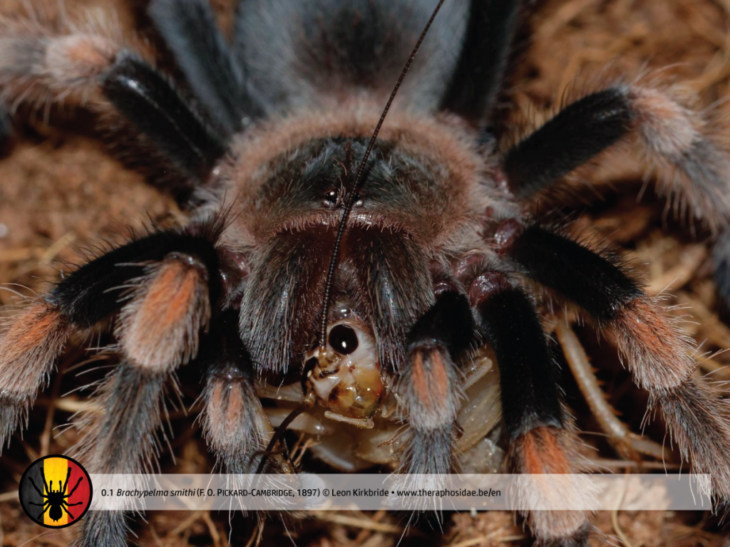 Brachypelma smithi prey