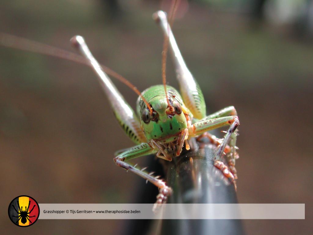 Tarantula prey grasshopper