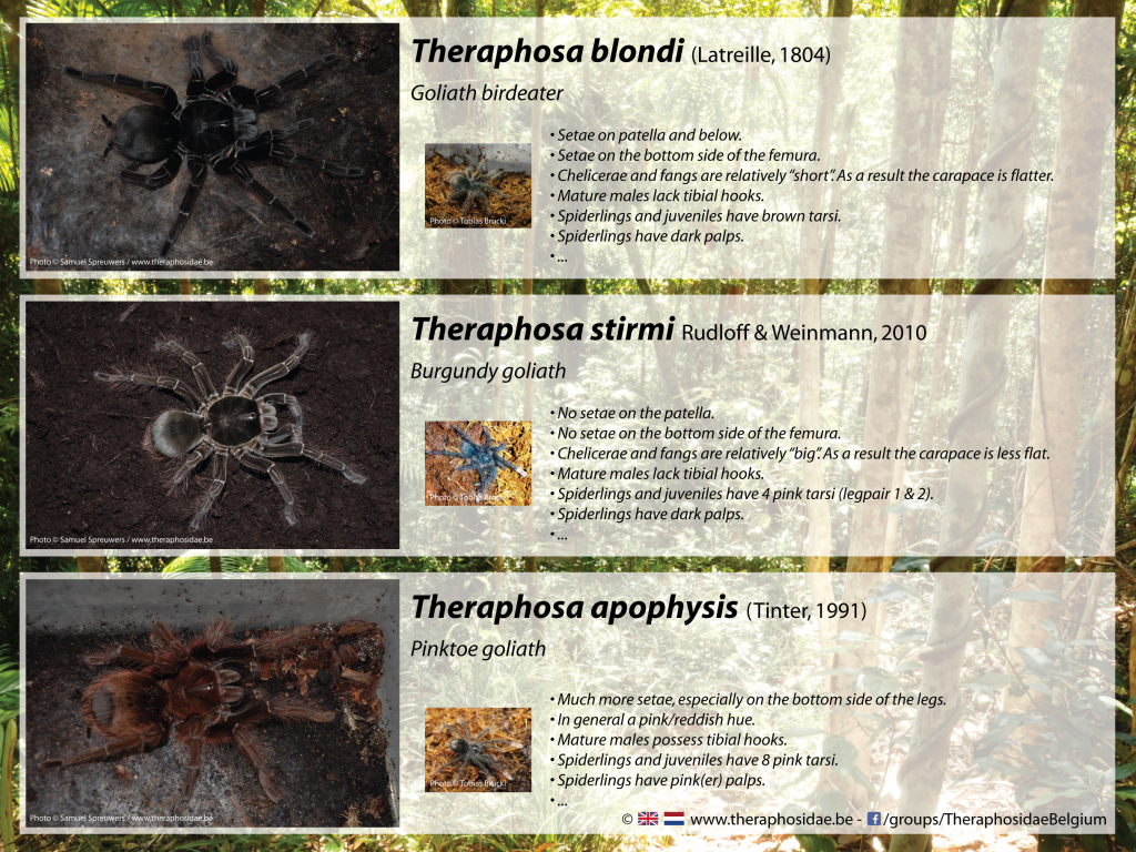 Differences within the genus Theraphosa