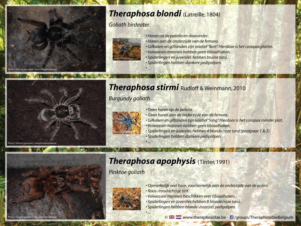 Verschillen in het Theraphosa-genus
