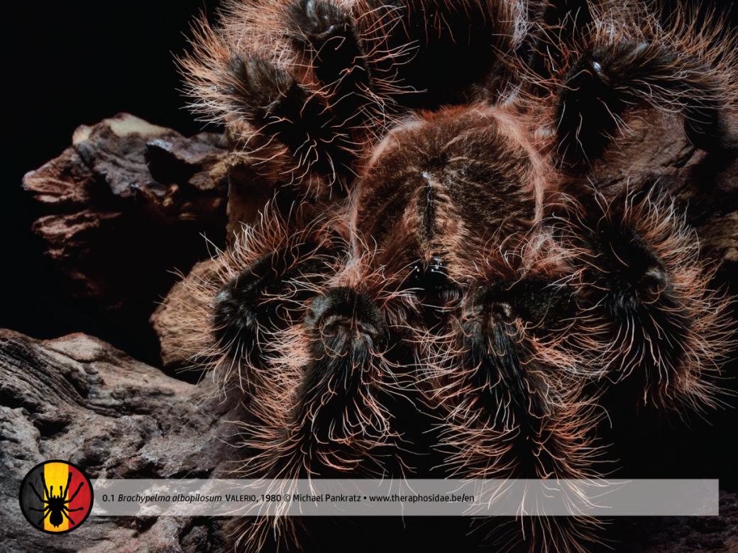 Brachypelma albopilosum