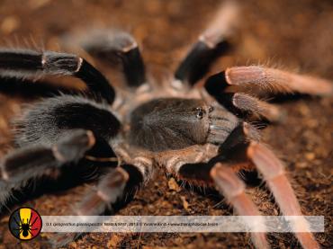 Lyrognathus giannisposatoi