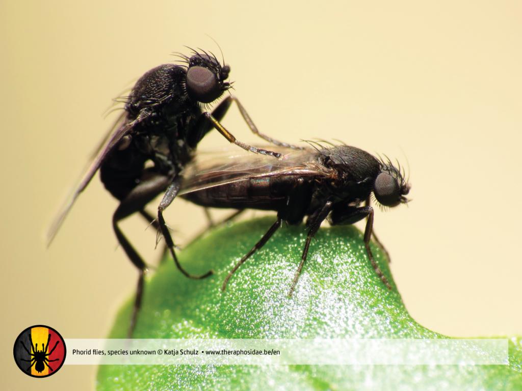 Phorid flies