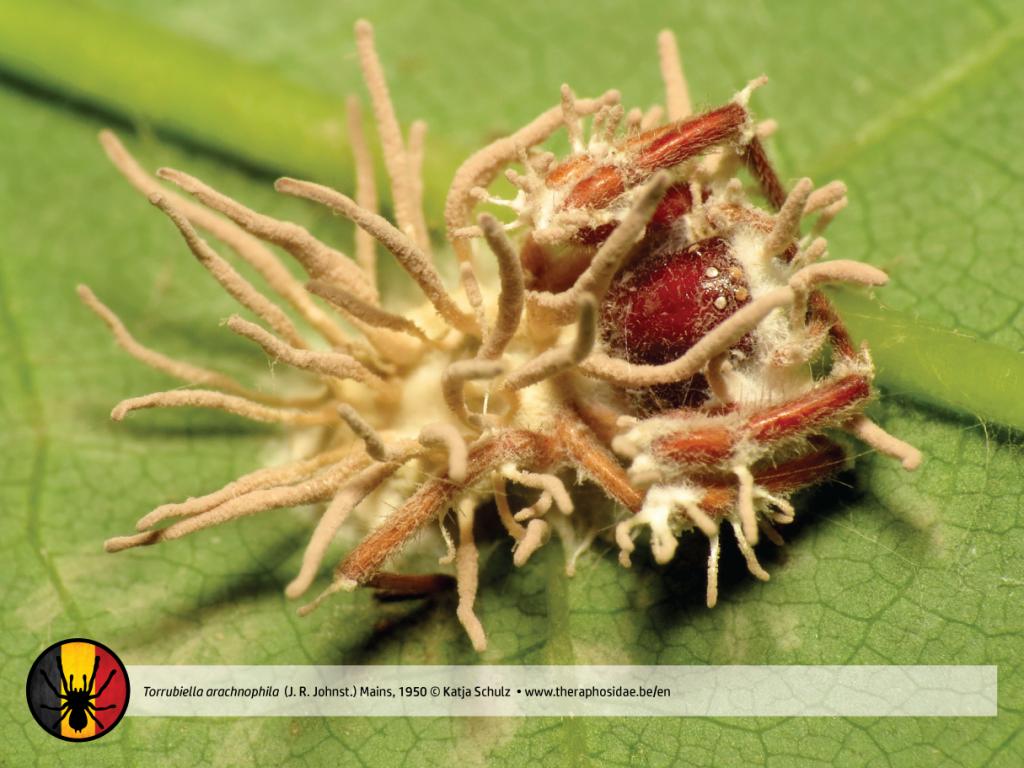 Torrubiella arachnophila