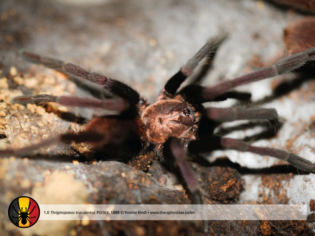 1.0 Thrigmopoeus truculentus