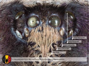 Poecilotheria regalis tarantula ocular tubercle anatomy