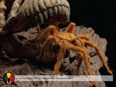 Pterinochilus murinus
